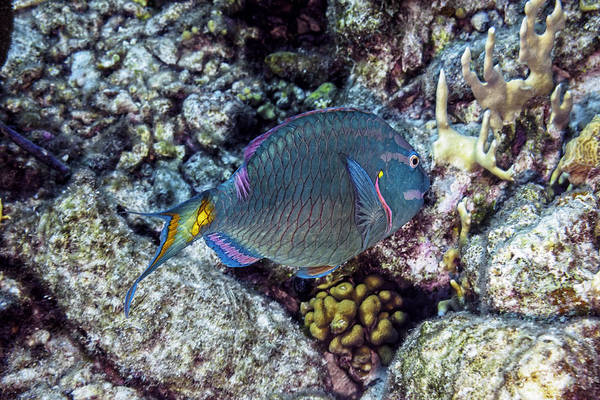 Photograph - Stoplight Parrotfish Terminal Phase by Perla Copernik