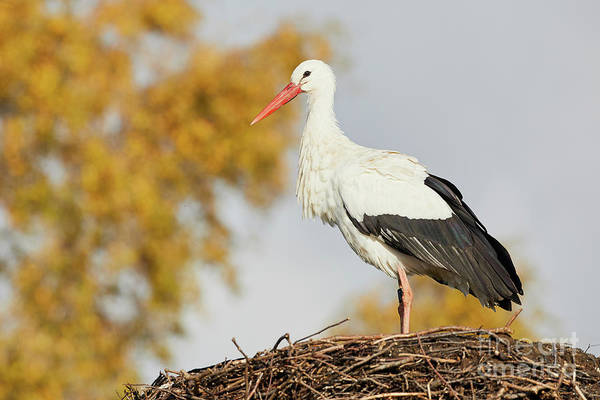 Photograph - Stork On A Nest, Trees In The Background by Nick Biemans