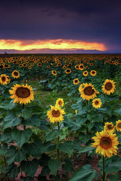 Photograph - Storm Light And Sunflowers by John De Bord
