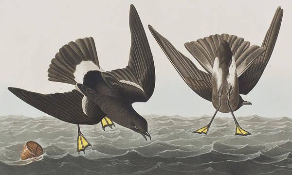 Art In America Painting - Stormy Petrel by John James Audubon