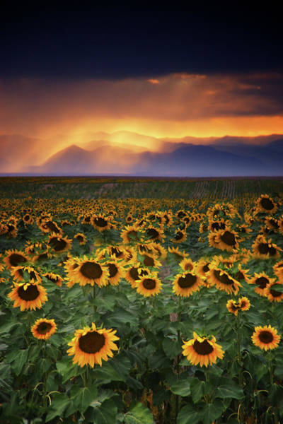 Photograph - Stormy Sunflowers by John De Bord