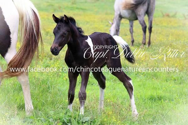 Photograph - Night Thunder Nightmist Descendant Foal by Captain Debbie Ritter