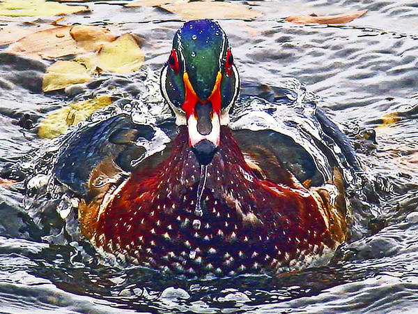 Photograph - Straight Ahead Wood Duck by Jean Noren
