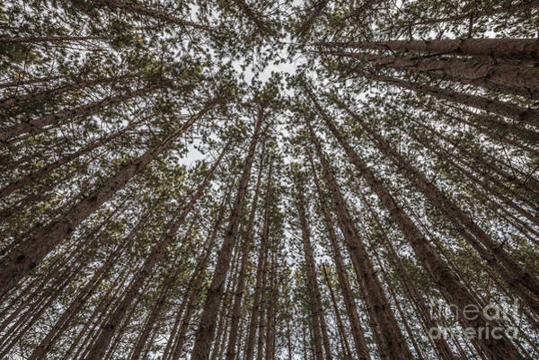 Photograph - Straight And Tall Red Pine Trees by Sue Smith