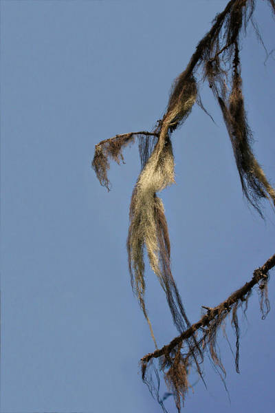 Photograph - Strand Of Moss Swaying Gently With The Wind - Tiger Mountain Wa by Christine Till