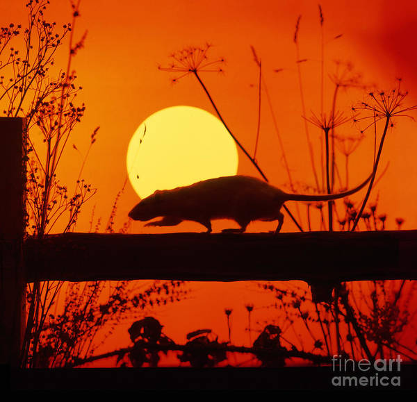 Wall Art - Photograph - Stranglers Rattus Norvegicus Rat by Warren Photographic