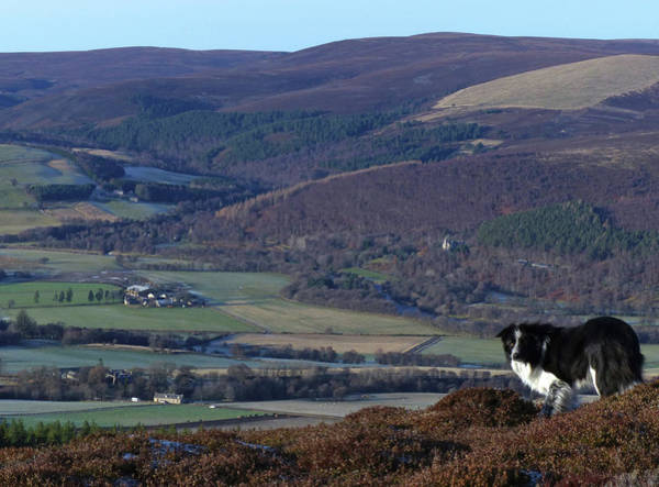 Photograph - Border Collie In The Hills Above Strathspey by Phil Banks