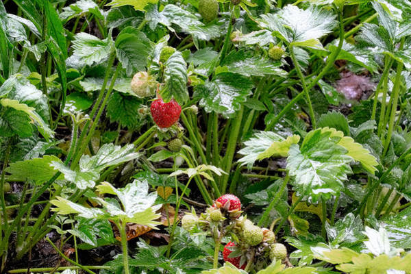 Photograph - Strawberries In Rain by Leif Sohlman