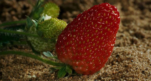 Photograph - Strawberry by Digital Art Cafe