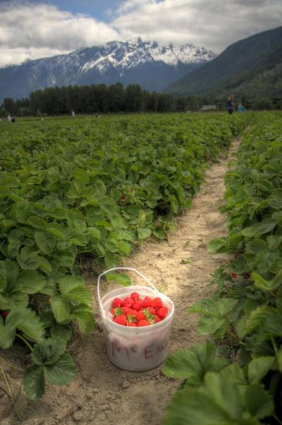 Photograph - Strawberry Picking Pemberton B.c Canada by Pierre Leclerc Photography