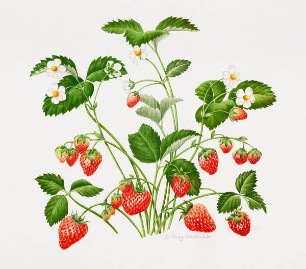 Strawberry Painting - Strawberry Plant by Sally Crosthwaite