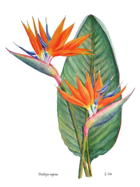 Painting - Strelitzia Reginae Bird Of Paradise by Janet Zeh