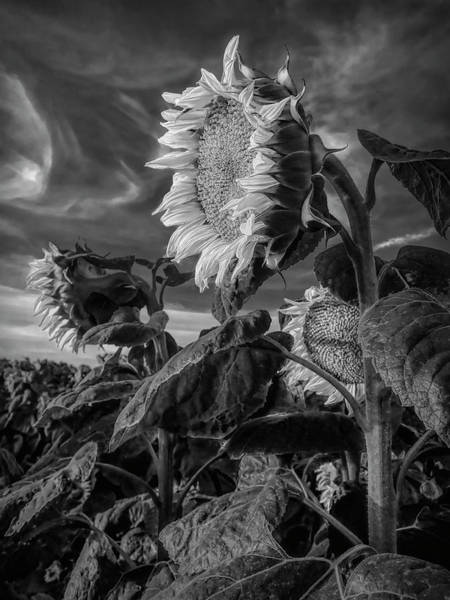 Photograph - Strength Of A Sunflower by Wes Jimerson
