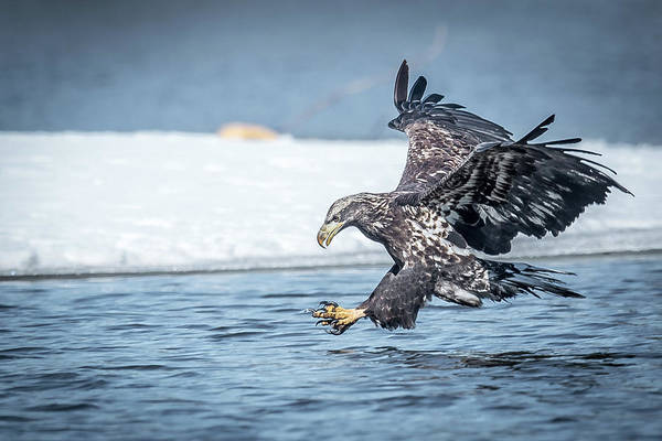 Bif Photograph - Stretched Out Eagle by Paul Freidlund