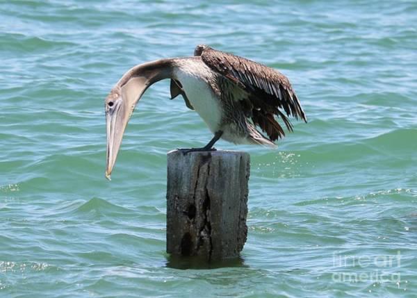 Wall Art - Photograph - Stretching Brown Pelican by Carol Groenen