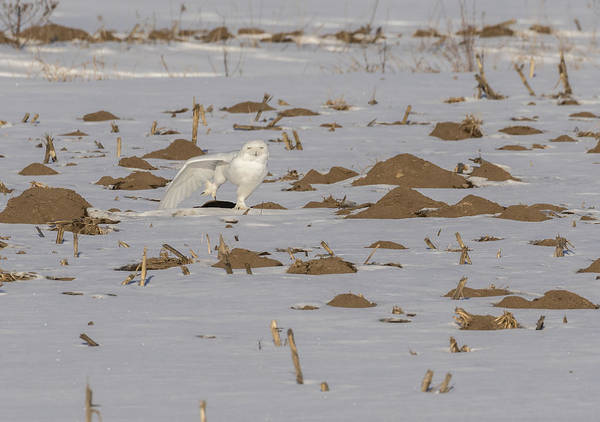 Photograph - Stretching Snowy Owl 2016-1 by Thomas Young