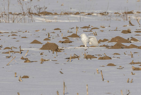 Photograph - Stretching Snowy Owl 2016-2 by Thomas Young