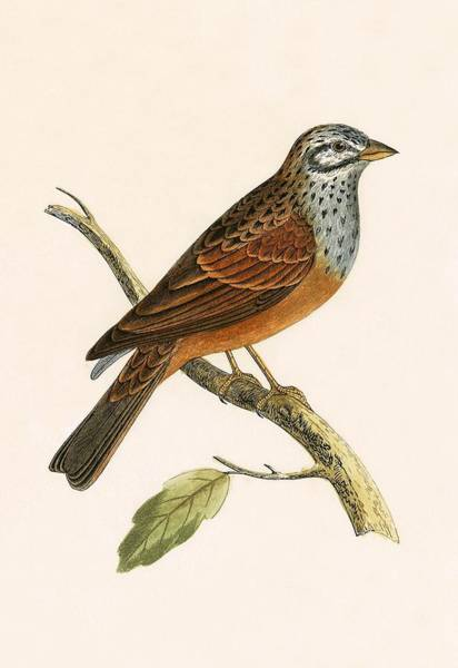 Bunting Painting - Striolated Bunting by English School
