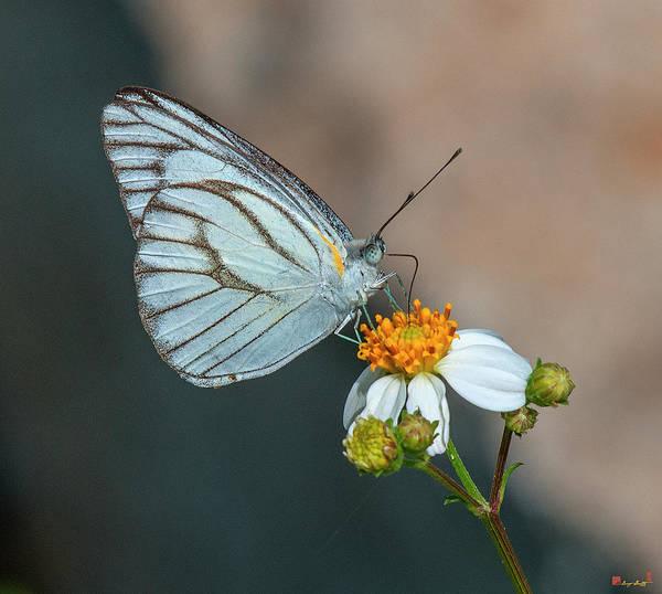 Photograph - Striped Albatross Butterfly Dthn0209 by Gerry Gantt