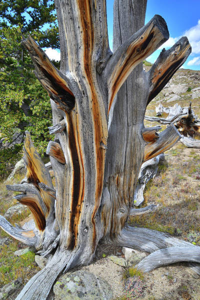 Photograph - Striped Bristlecone by Ray Mathis
