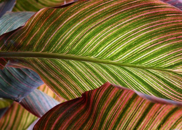 Photograph - Striped Canna Lily Leaves by Debi Dalio