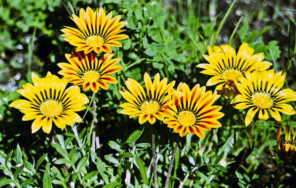 Photograph - Striped Daisies--film Image by Matthew Bamberg