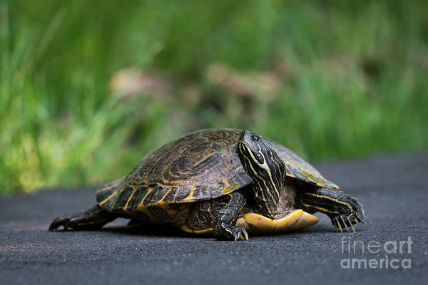 Photograph - Striped Neck Terrapin by Andrea Silies