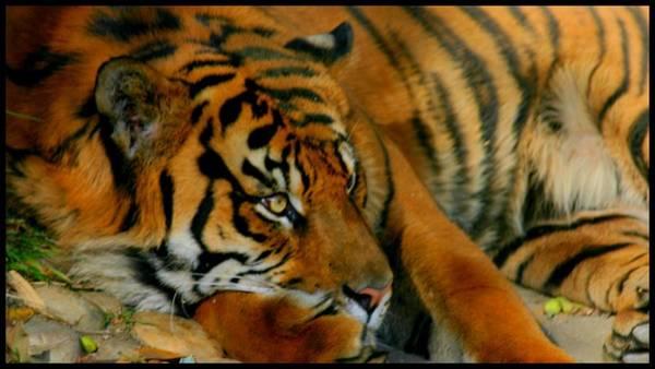 Photograph - Striped Predator by Brad Scott