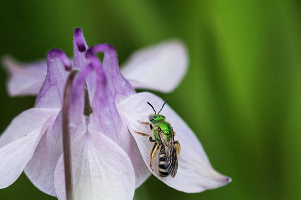 Photograph - Striped Sweat Bee by Robert Potts