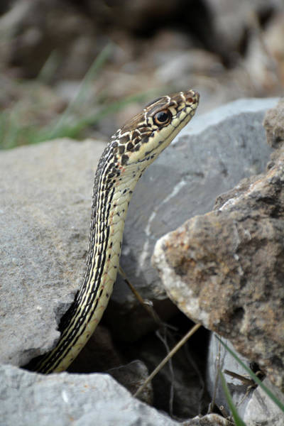 Photograph - Striped Whipsnake, Masticophis Taeniatus by Breck Bartholomew