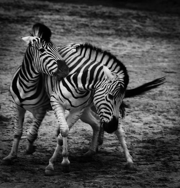 Hoof Photograph - Stripes by Martin Newman
