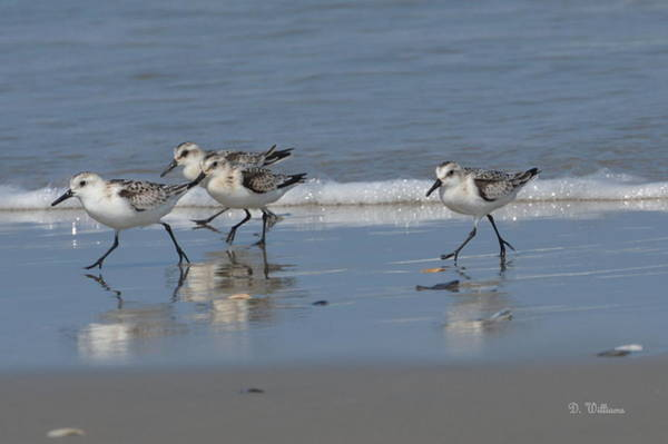Photograph - Strolling Shorebirds by Dan Williams