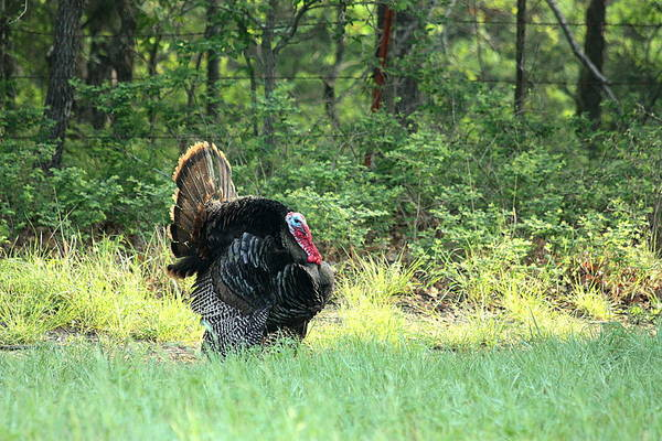 Photograph - Struttin' His Stuff by Sheila Brown