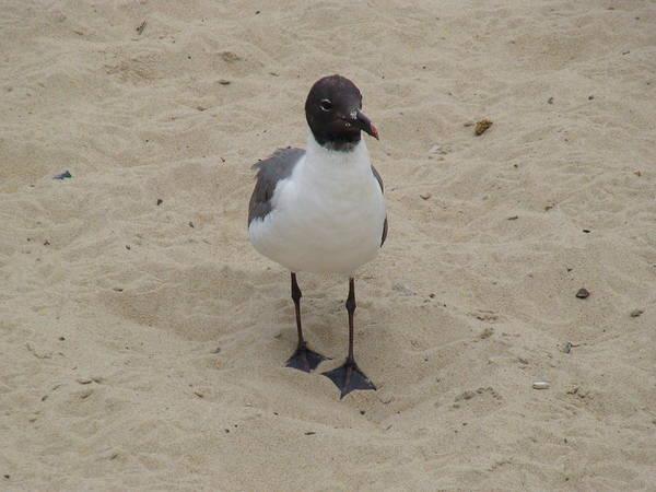 Photograph - Struttin' Seagull  by Charles Kraus
