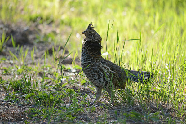 Ruffed Grouse Photograph - Strutting Grouse by Whispering Peaks Photography