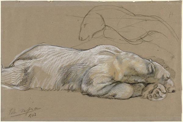Polar Bear Drawing - Studies Of A Recumbent Polar Bear by John Macallan Swan
