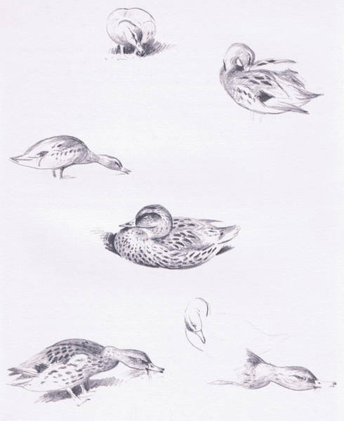 Duck Hunting Drawing - Studies Of Mallard Ducks by Archibald Thorburn