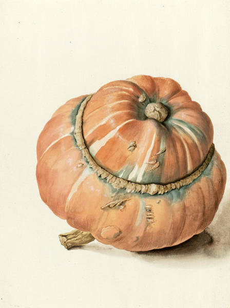Drawing - Study Of A Gourd by Attributed to Jean-Baptiste Huet