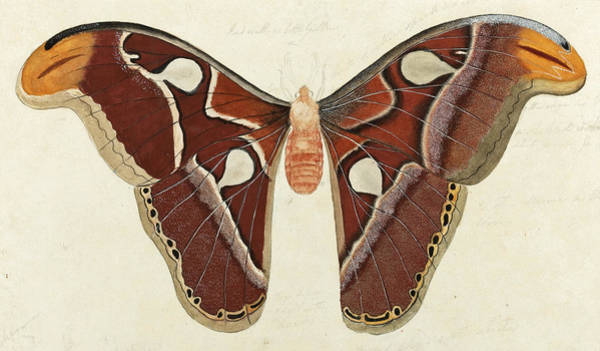 Drawing - Study Of A Moth  by British School