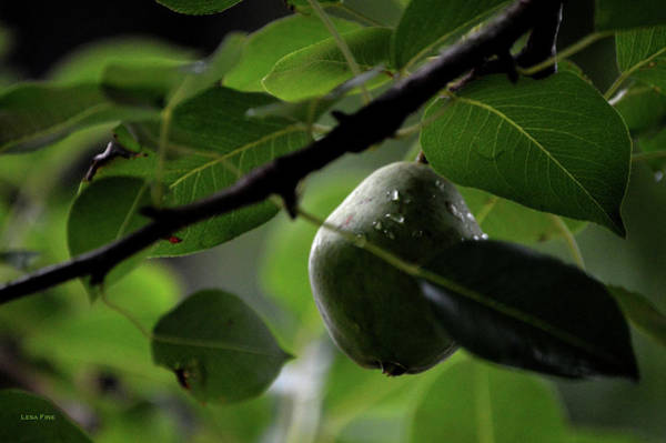 Photograph - Study Of A Pear by Lesa Fine
