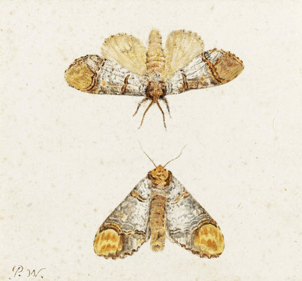 Drawing - Study Of Two Moths by Pieter Withoos