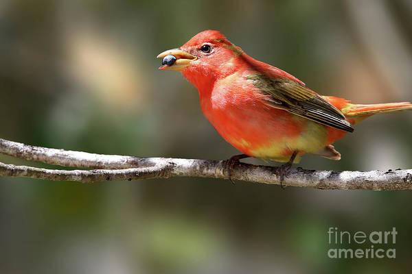Stuffed Summer Tanager Art Print