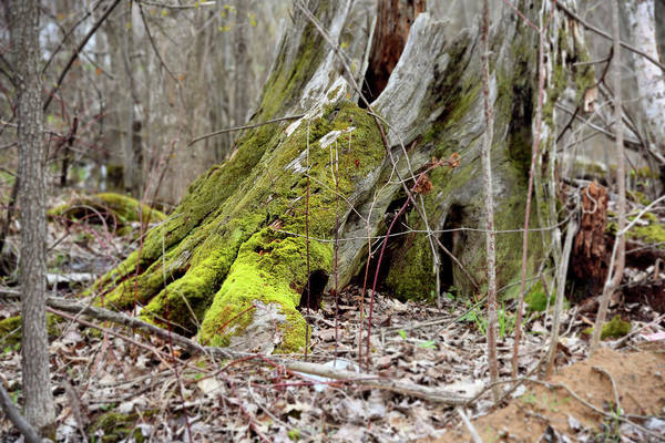 Photograph - Stump With Moss by Sean Seal