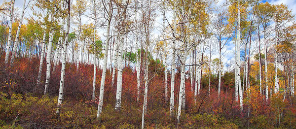 Wall Art - Photograph - Stunning Aspen Forest by Tim Reaves