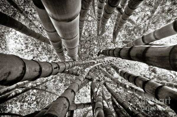 Photograph - Stunning Bamboo Forest by Carlos Alkmin