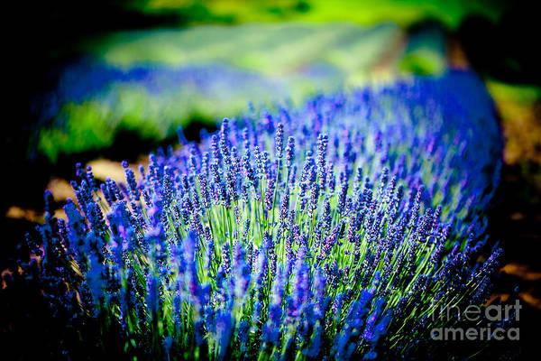 Photograph - Stunning Lavender Field Landscape by Raimond Klavins