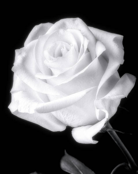 Foilage Photograph - Stunning White Rose In Black And White by Garry Gay