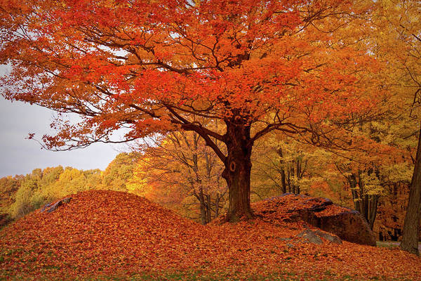 Wall Art - Photograph - Sturdy Maple In Autumn Orange by Jeff Folger