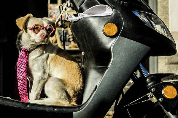 Photograph - Stylish Portuguese Dog  Looking For His Driver by Sven Brogren