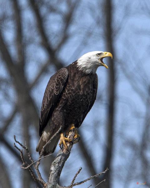 Photograph - Subadult Bald Eagle Drb0253 by Gerry Gantt